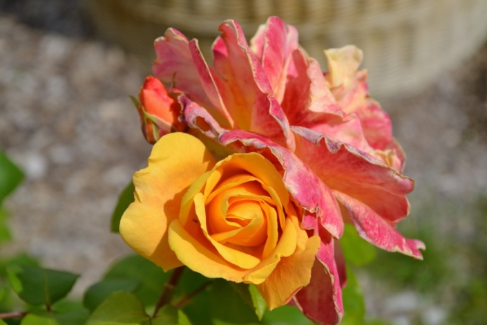 des roses au ministère de l'agriculture et de l'alimentation